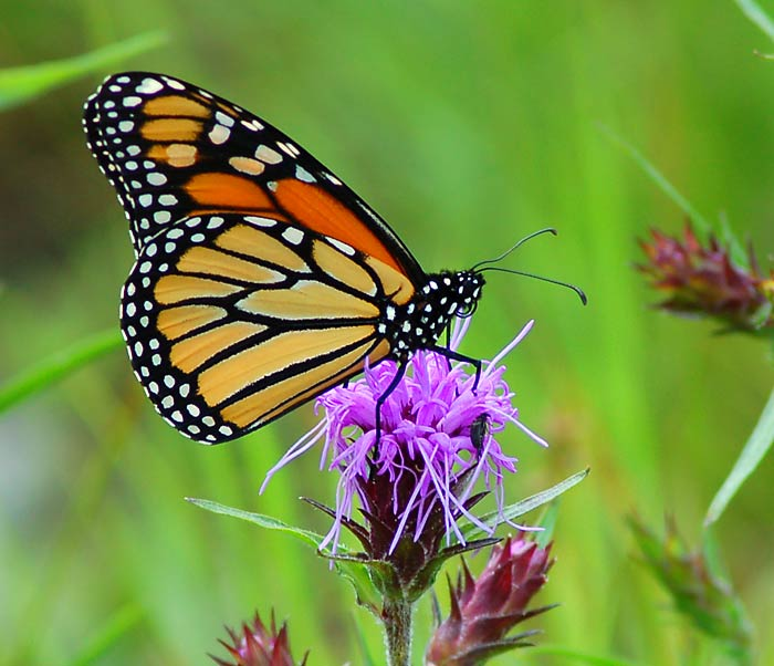 monarch-butterfly-danaus-plexippus-on-milk-thistle-silybum-marianum