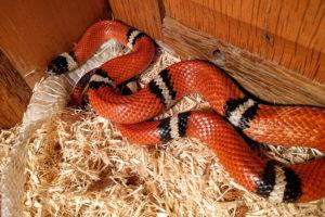 Elsie the Sinoloan Milk Snake - Lampropeltis triangulum sinaloae