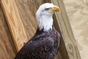 Hope the Bald Eagle - Haliaeetus Leucocephalus