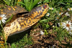 Merlin the Box Turtle - Terrapene Carolina