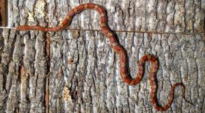 Orville Redenbacher the Corn Snake - Pantherophis guttatus